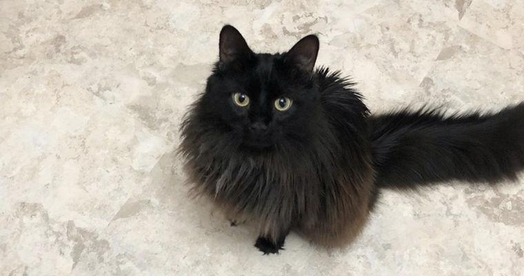 シャンティリーの飼い方|鳴き声が特徴的! 名前に複雑な歴史を持つ猫です。