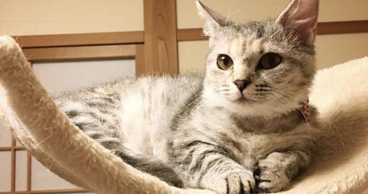 スクークムの飼い方|ラムキンに似ている? マンチカンから生まれた猫