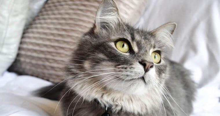 猫のおしっこがキラキラしている場合の原因や病気、治療法などを獣医師が解説