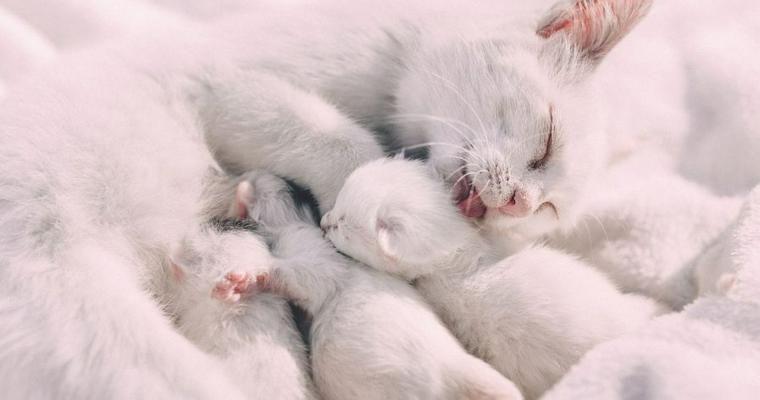 猫にもアルビノっているの? 白猫との違いや寿命について解説