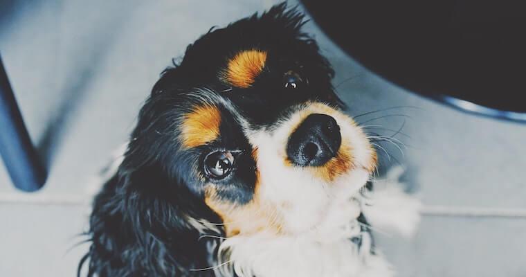 犬の気管虚脱について症状や治療法などを獣医師が解説