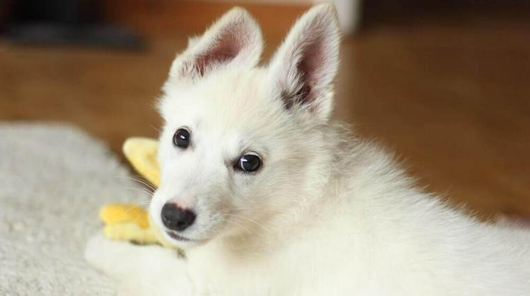 犬の正常な耳垢とは? 異常の見分け方や耳掃除の仕方などを獣医師が解説