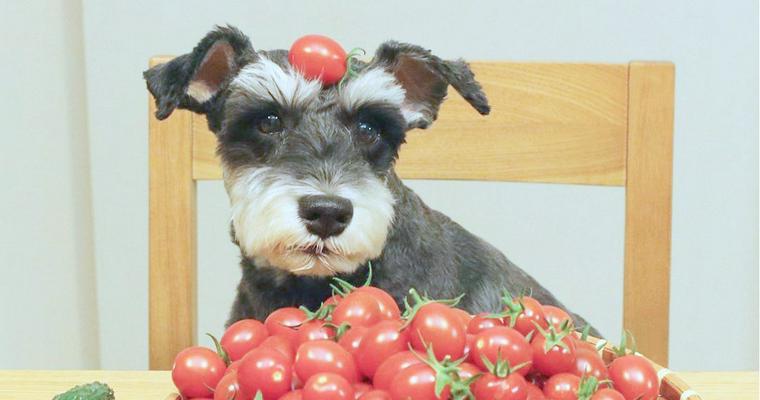 犬 ミニ トマト