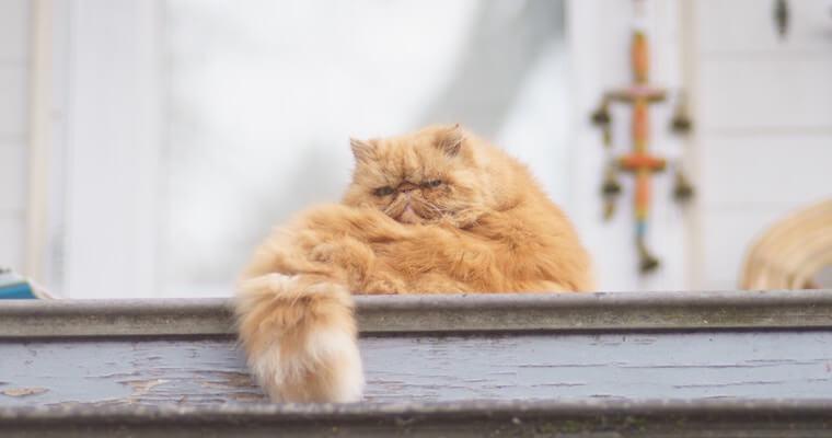 猫のスタッドテイルとは? 症状や原因、予防法などを獣医師が解説