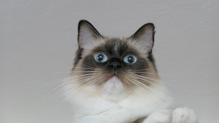 猫の抜け毛対策はブラシが基本! 多い時期や病気など注意点を解説
