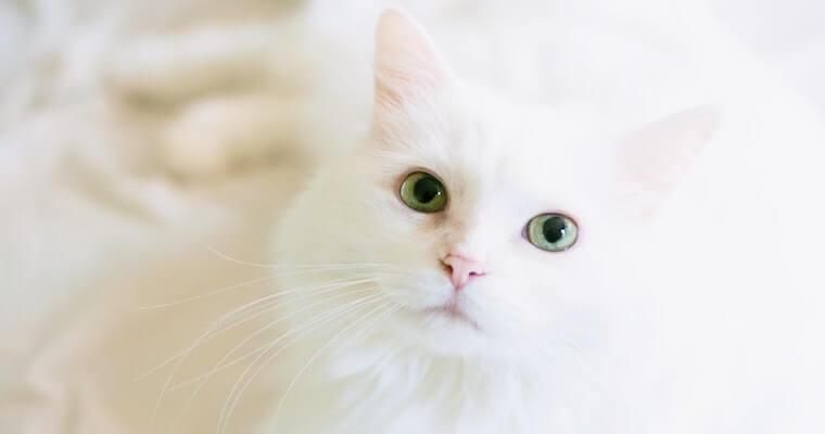 猫の目薬のさし方やコツ、種類などを獣医師が解説