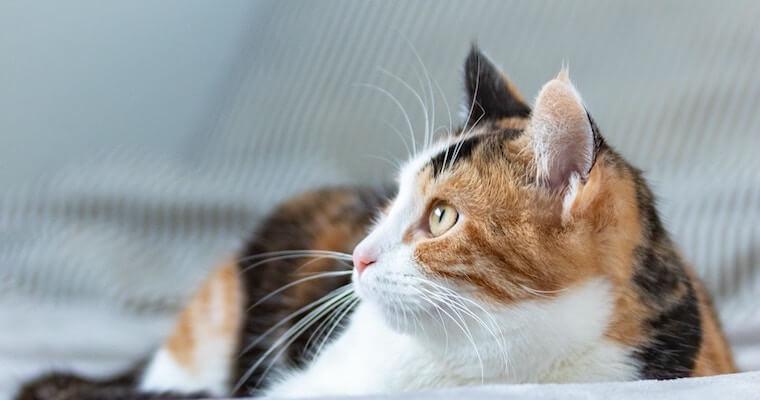 猫の外耳炎について原因や症状、治療法などを獣医師が解説
