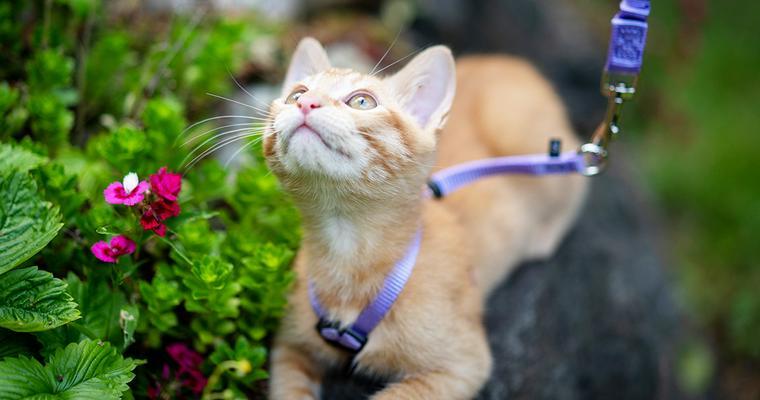 バイヤーおすすめ猫のハーネス 選び方のほか、嫌がる場合の慣らし方やおしゃれな商品も紹介