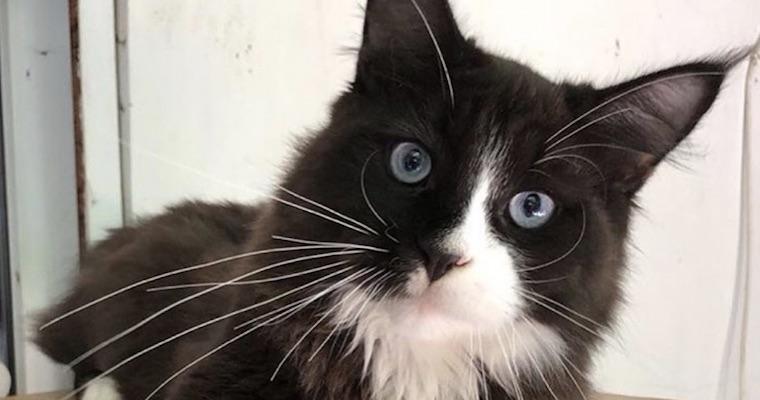 オホサスレスの飼い方|突然変異!? 世界的に見ても激レアな「青い目」という名前を持つ新種の猫