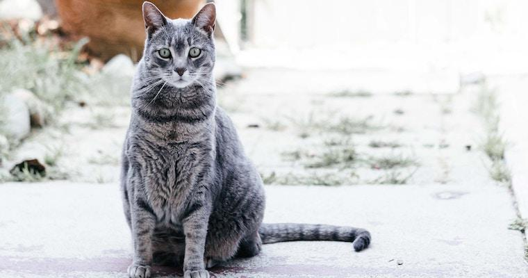 猫の正常・異常な耳垢とは? 耳掃除の必要性など獣医師が解説