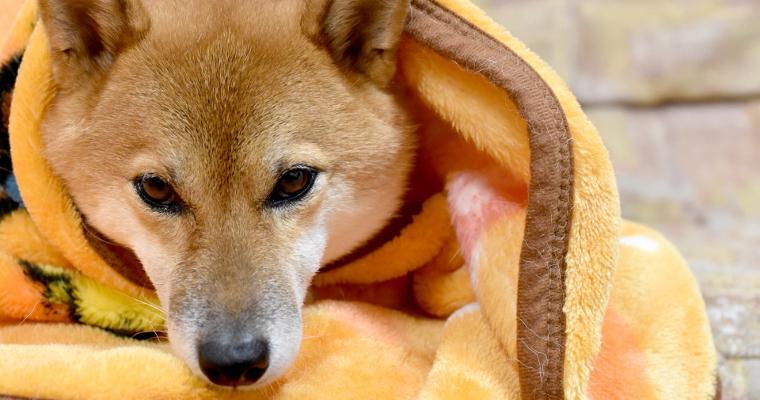 柴犬は寒さに強いって本当? 寒がるサインを見逃さず対策を
