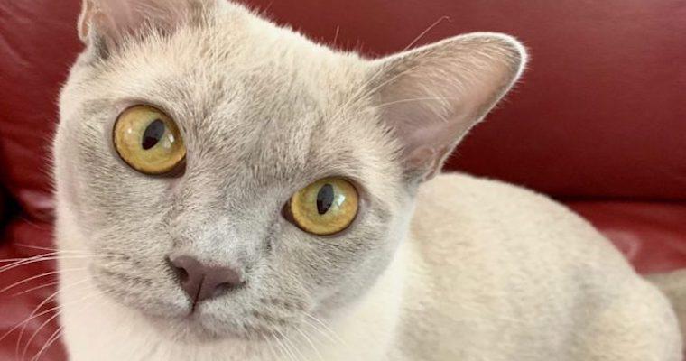 ヨーロピアンバーミーズの飼い方|犬やほかの猫とも仲良くできる愛情あふれる猫種