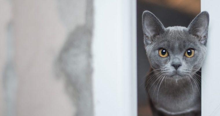 グレー(ブルー)の美しい毛色を持つ猫種は? グレーの雑種猫の探し方もご紹介