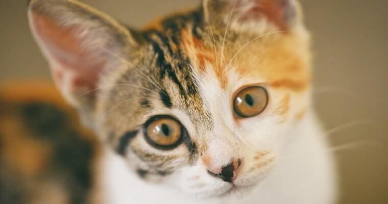 猫の結膜炎とは? 原因や症状、治療法などを獣医師が解説