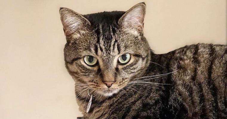 ドラゴンリーの飼い方|その歴史は3000年以上!? 中国生まれの珍しい猫種