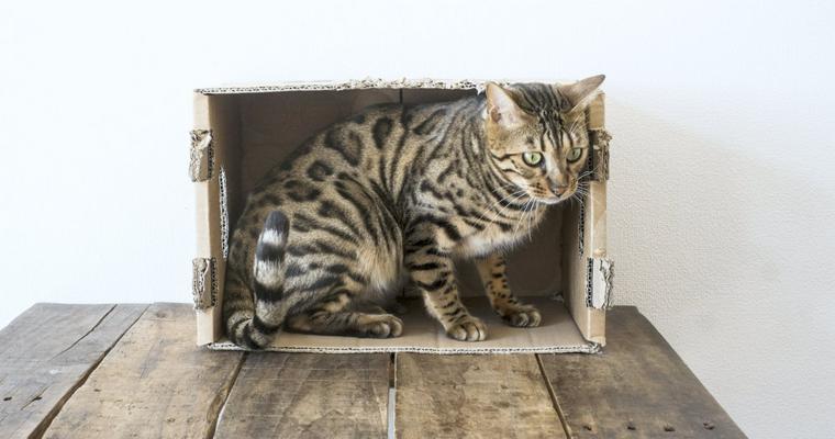 猫はなぜダンボールをかじるの? 理由や危険性などを紹介