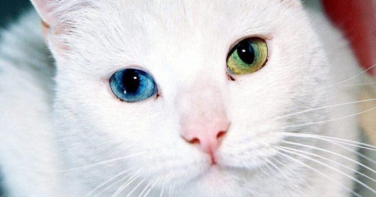 猫は幸運を呼び寄せる? かぎしっぽやオッドアイなど、色や特徴別に解説