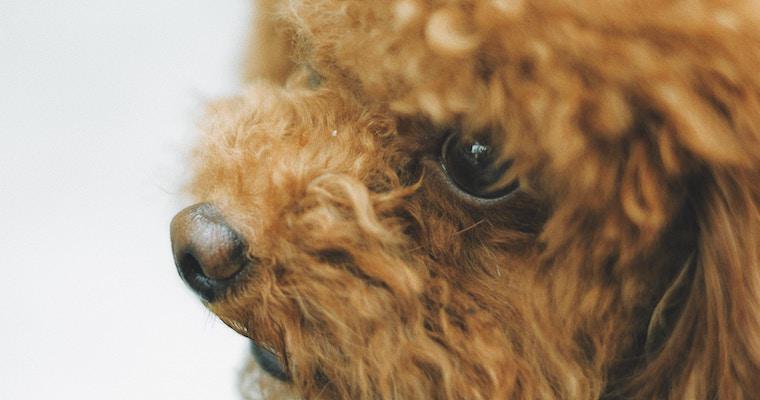 犬の鼻が乾燥しているのは大丈夫? 原因や考えられる病気を獣医師が解説