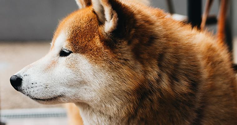 老犬との暮らし シニアの柴犬の食事や夜鳴きへの対応など解説