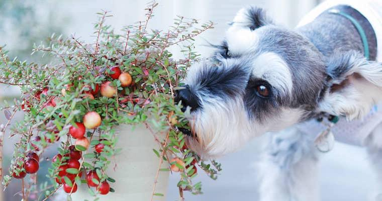 犬はクランベリーを食べても大丈夫? 尿路結石や膀胱炎予防に効果的でも注意点アリ