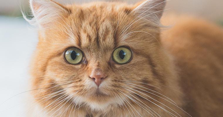 猫の鼻が赤い? 色が変わる理由や対処法などを獣医師が解説