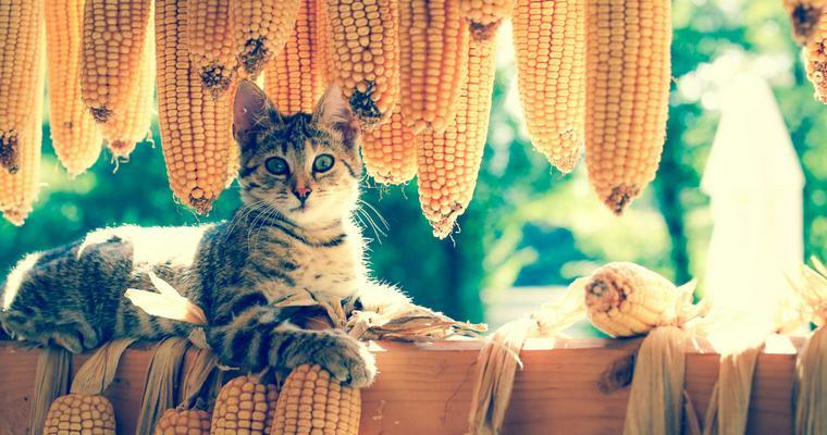 猫はとうもろこしを食べても大丈夫。でもアレルギーや葉には注意