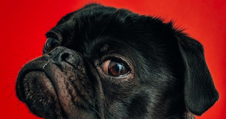 犬の目が充血している(赤い)? 考えられる原因・病気などを獣医師が解説
