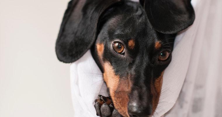 犬が首を振るのはなぜ? 理由や対策、頭を揺らす原因などを獣医師が解説