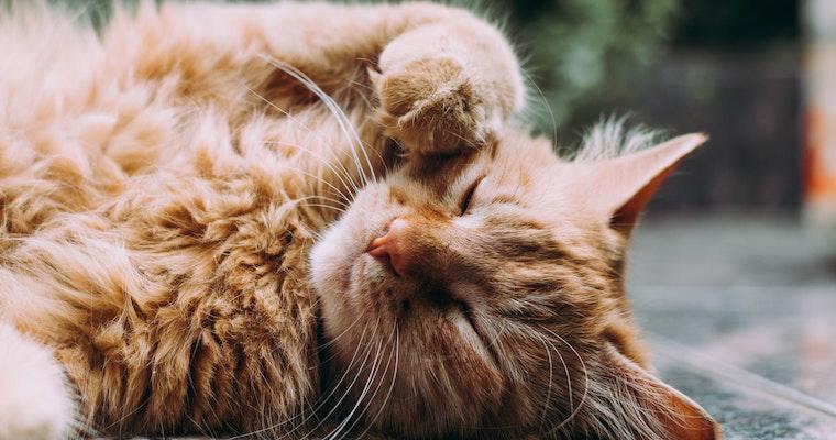 猫の尿毒症とは? 症状や治療法など獣医師が解説