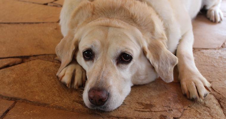 犬の肥満リスクとは? 考えられる原因や病気、ダイエット法を獣医師が解説
