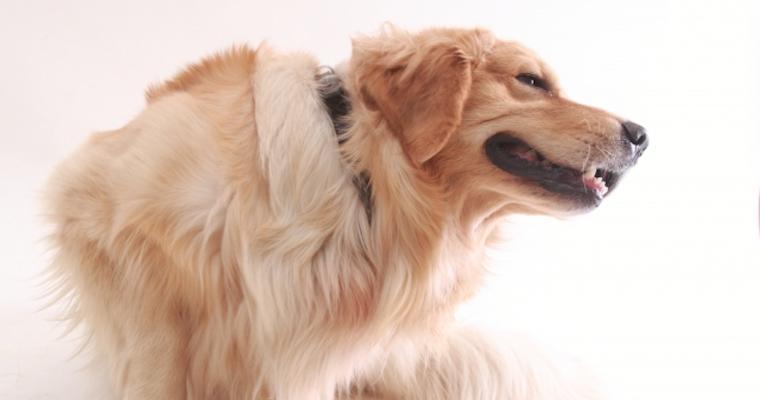 犬が掻く理由とは? 考えられる原因・病気、応急処置などを獣医師が解説