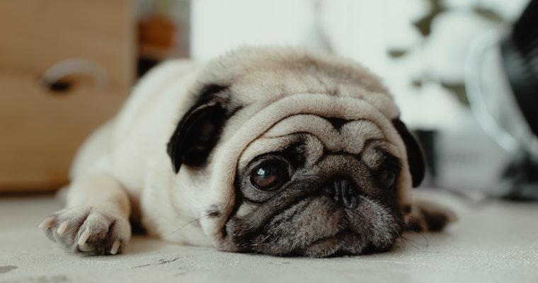犬が吐く原因とは? 繰り返す嘔吐など病院に行くべき症状や対処法などを獣医師が解説
