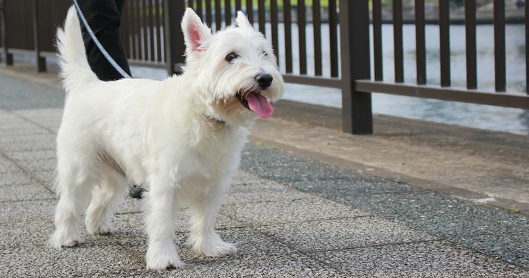 室内犬にも散歩は必要! 適切な時間や頻度、散歩をしないリスク解説
