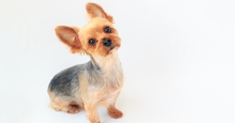 犬の首が傾いている? 考えられる病気や原因、応急処置を獣医師が解説