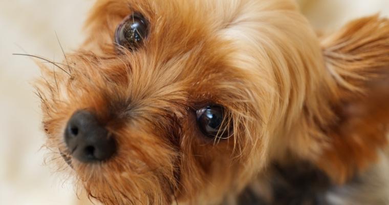 犬の片目がおかしい? 考えられる原因やすべき対応を獣医師が解説