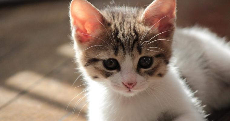 猫にワクチン接種は必要? 種類や時期、副作用のリスクを獣医師が解説