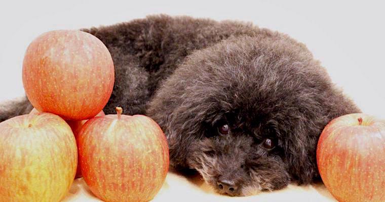 犬はりんごを食べても大丈夫! 与え方や注意点などを紹介