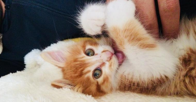 猫が甘噛みする意味とは? キックやゴロゴロの理由やしつけの方法について解説