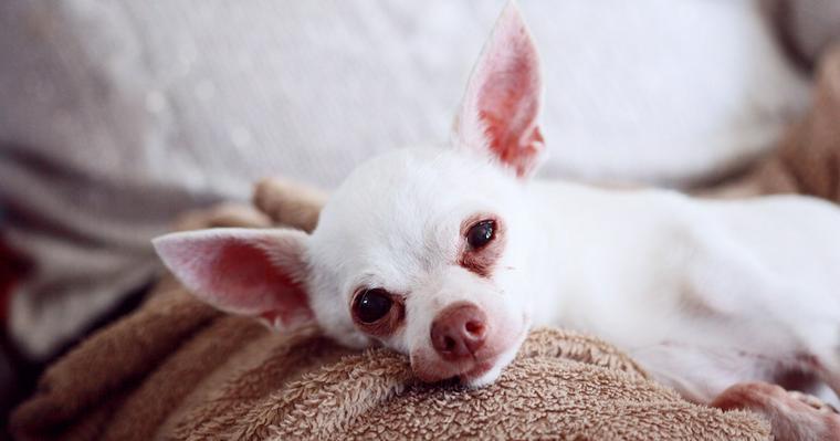 犬の老衰・老化のサインや症状は? 対応や安楽死の考え方を獣医師が解説