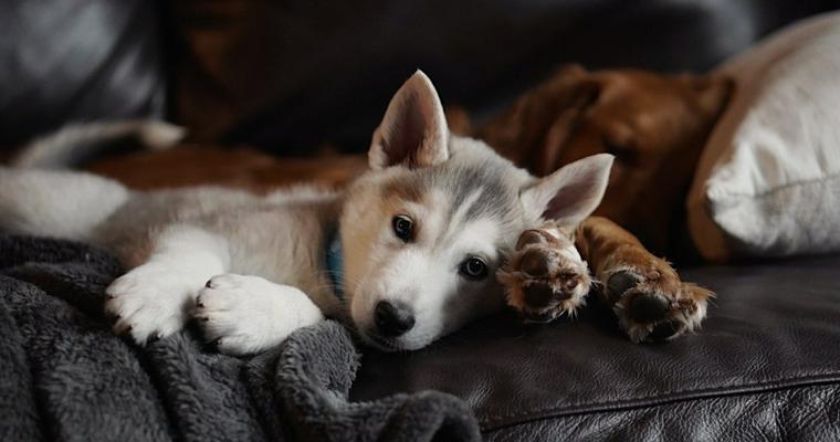 子犬にとって危険な犬パルボウイルス感染症|症状や予防法など獣医師が解説