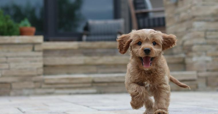 犬用ルームランナーは散歩の代わりになる? 使い方や注意点を解説