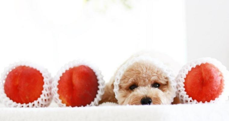 犬は桃を食べても大丈夫! ただし皮や種、与え過ぎには注意