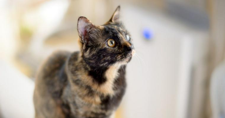 サビ猫の性格や特徴を解説 幸運を運ぶとされるも日本で不人気の理由とは