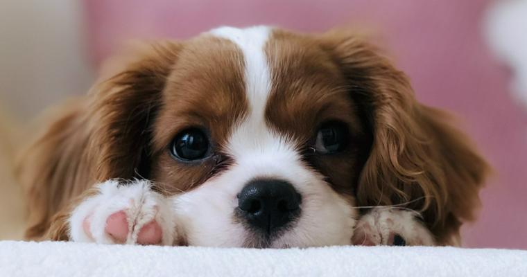 キャバリアってどんな犬? 性格や毛色、かかりやすい病気など解説