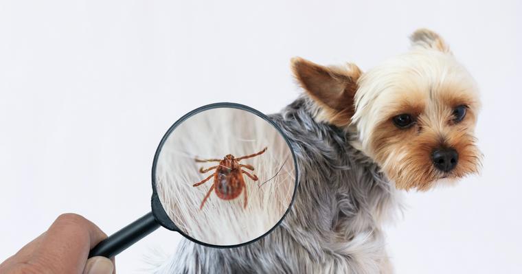 マダニに犬が刺されたら? 感染症や予防対策などについて獣医師が解説