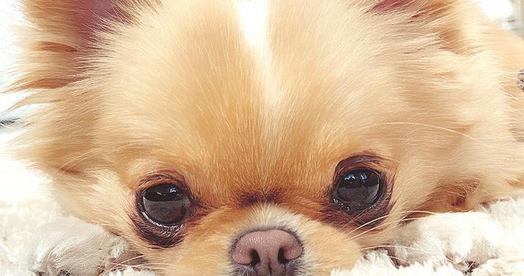 犬の目(まぶたや眼球)が腫れている? 考えられる原因や応急処置などを紹介