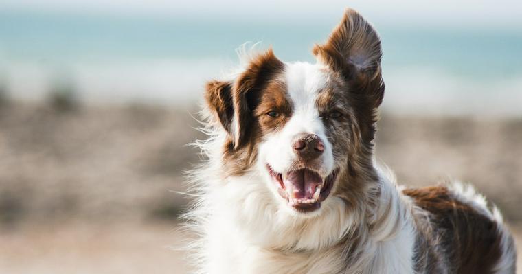 愛犬の血液型を知っていますか? 検査方法や調べるメリットなどを解説