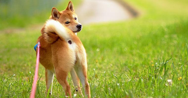 柴犬は小型犬か中型犬か。賃貸マンションはNGなケースも
