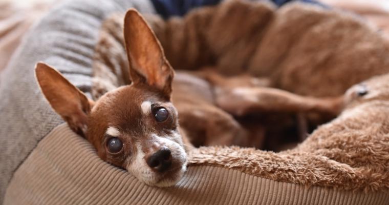犬の目が白い場合に考えられる原因や病気を獣医師が解説