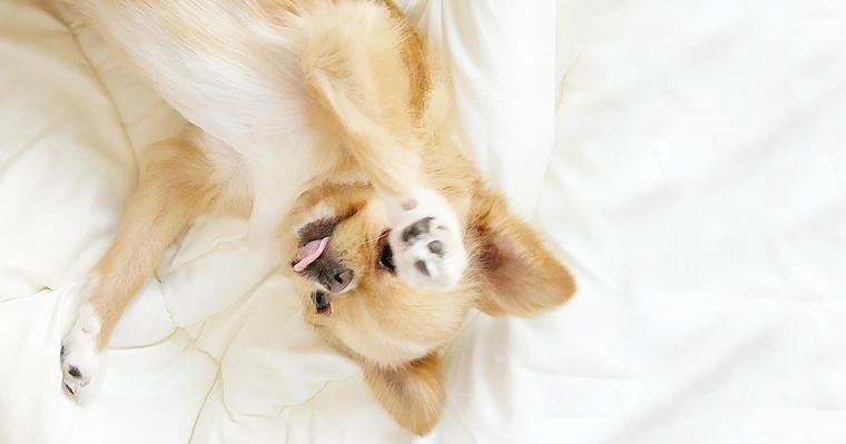 犬が仰向けになる気持ち お腹を見せる理由と病気を誘発する注意点を解説